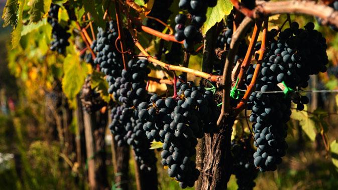 Sangiovese – der Stolz der Toskana